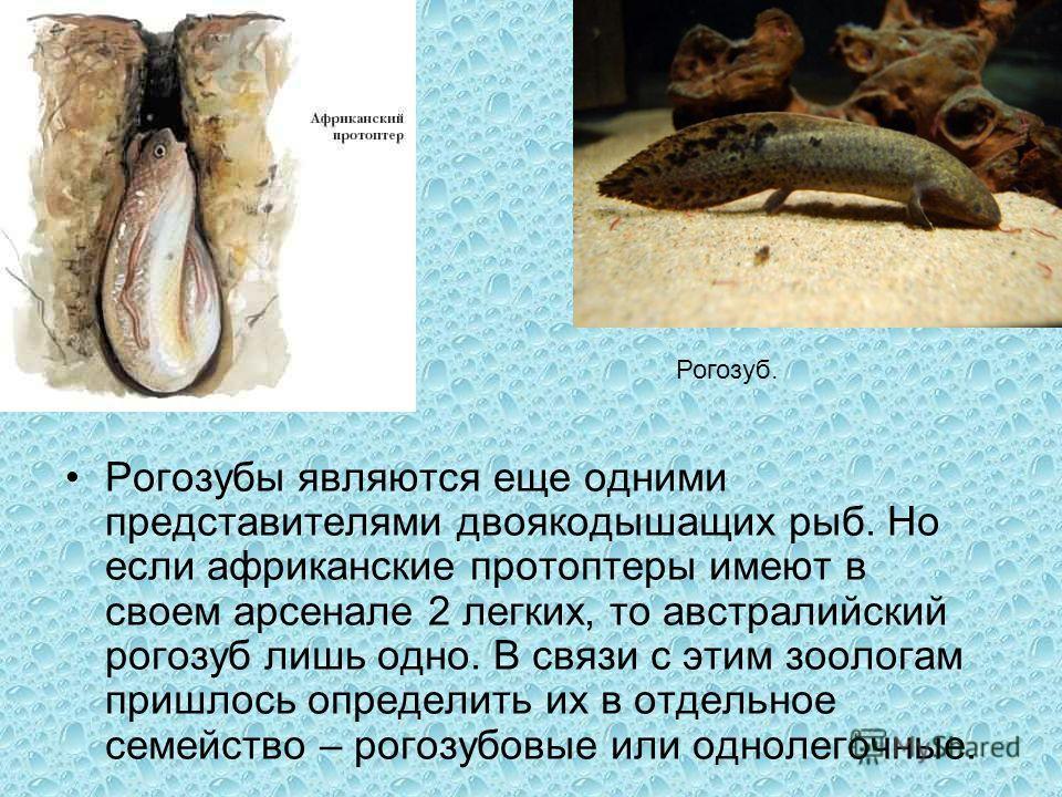 Рогозубы являются еще одними представителями двоякодышащих рыб. Но если африканские протоптеры имеют в своем арсенале 2 легких, то австралийский рогозуб лишь одно. В связи с этим зоологам пришлось определить их в отдельное семейство – рогозубовые или