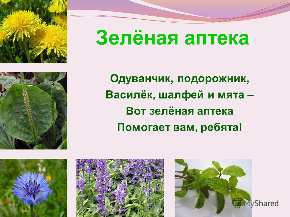 Зелёная аптека Одуванчик, подорожник, Василёк, шалфей и мята – Вот зелёная аптека Помогает вам, ребята!
