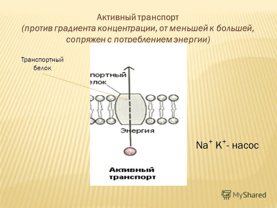 Активный транспорт (против градиента концентрации, от меньшей к большей, сопряжен с потреблением энергии) Транспортный белок Na + К + - насос