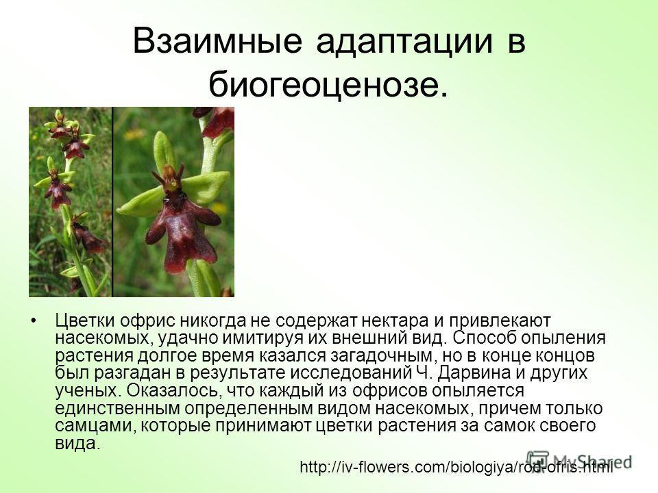 Взаимные адаптации в биогеоценозе. Цветки офрис никогда не содержат нектара и привлекают насекомых, удачно имитируя их внешний вид. Способ опыления растения долгое время казался загадочным, но в конце концов был разгадан в результате исследований Ч.