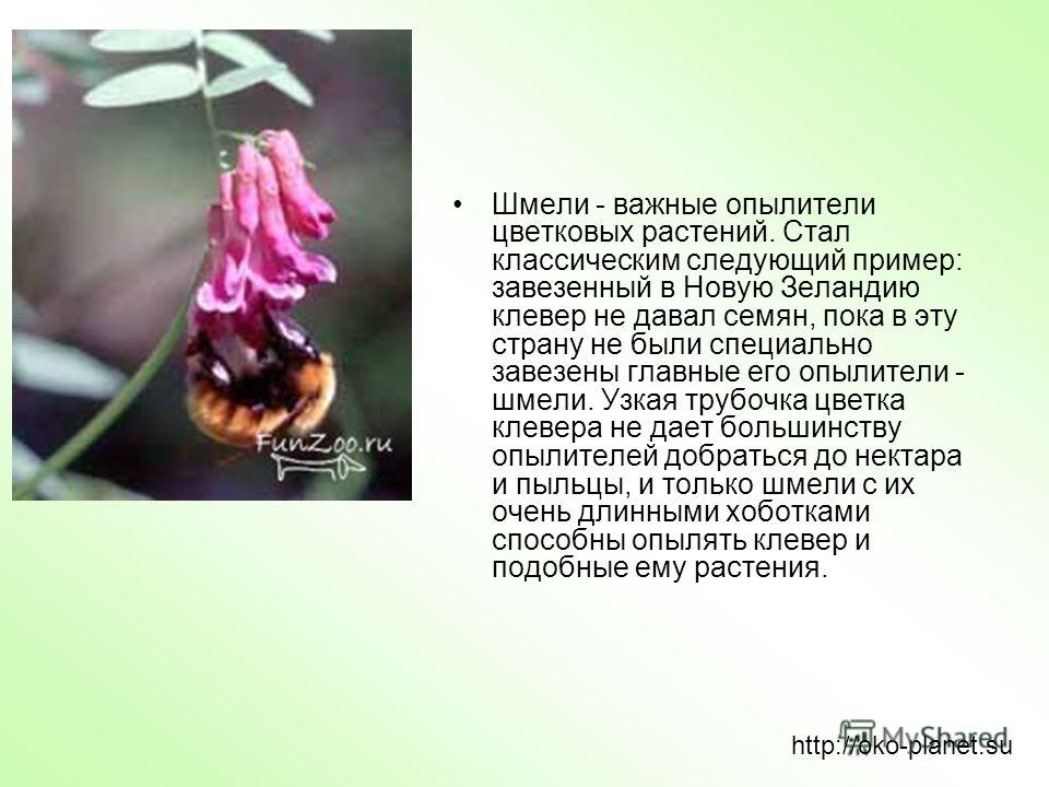 Шмели - важные опылители цветковых растений. Стал классическим следующий пример: завезенный в Новую Зеландию клевер не давал семян, пока в эту страну не были специально завезены главные его опылители - шмели. Узкая трубочка цветка клевера не дает бол