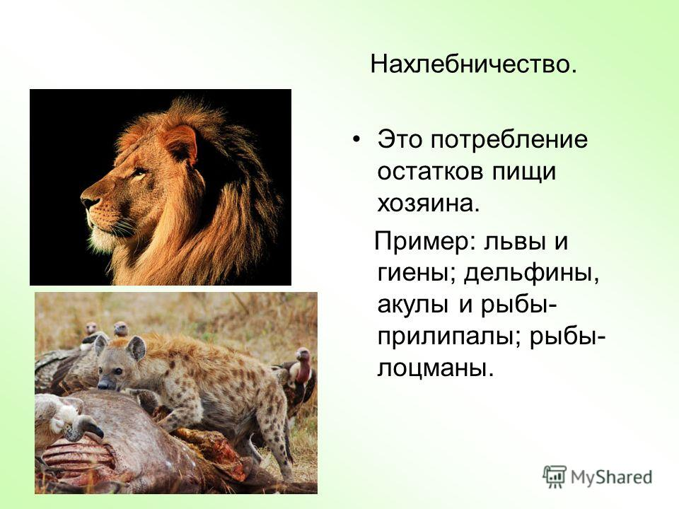 Нахлебничество. Это потребление остатков пищи хозяина. Пример: львы и гиены; дельфины, акулы и рыбы- прилипалы; рыбы- лоцманы.
