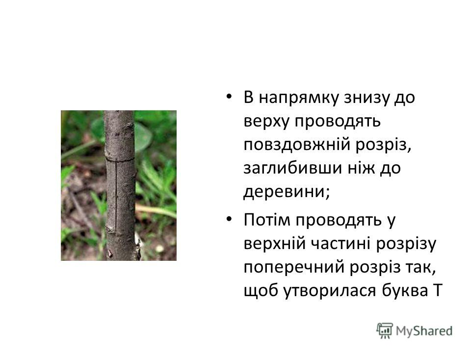 В напрямку знизу до верху проводять повздовжній розріз, заглибивши ніж до деревини; Потім проводять у верхній частині розрізу поперечний розріз так, щоб утворилася буква Т