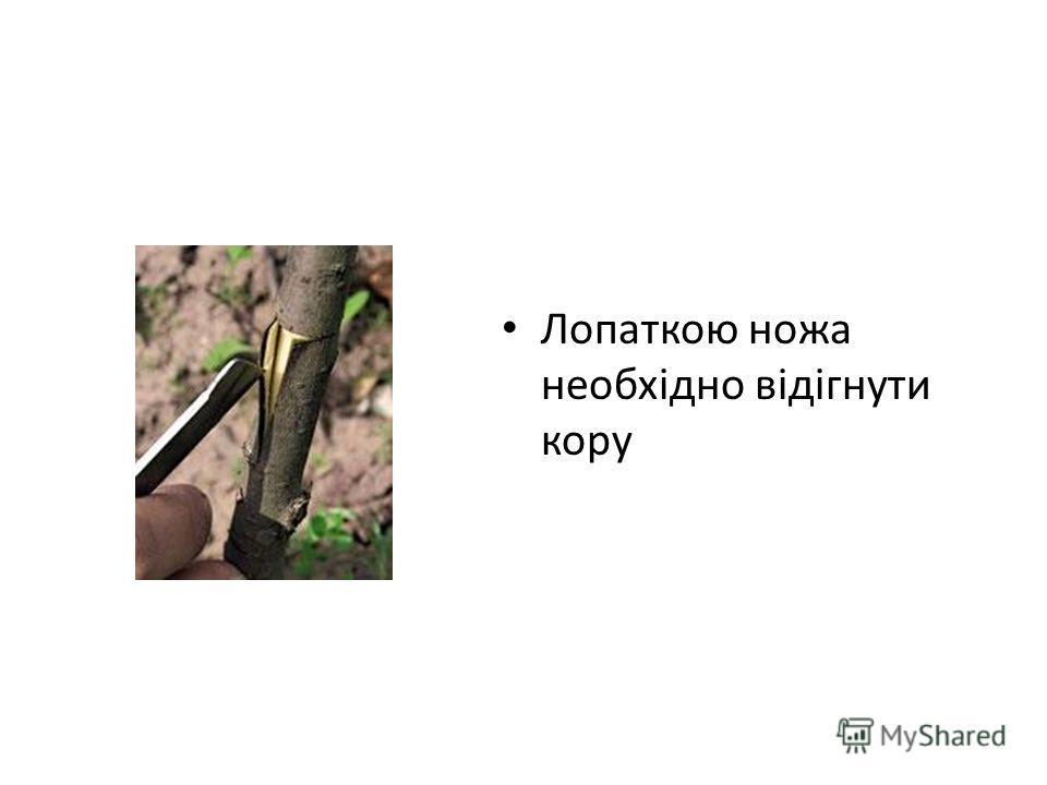Лопаткою ножа необхідно відігнути кору