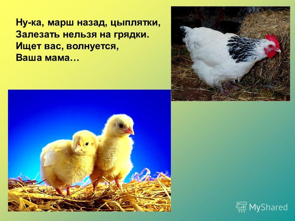 Ну-ка, марш назад, цыплятки, Залезать нельзя на грядки. Ищет вас, волнуется, Ваша мама…