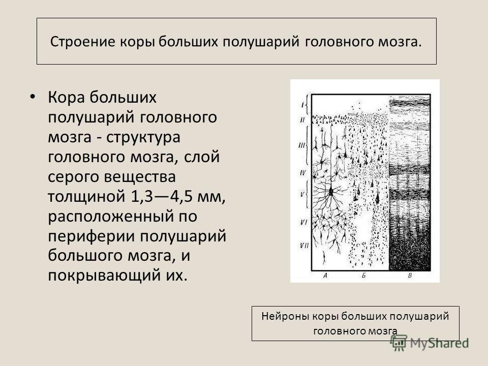 Кора больших полушарий головного мозга - структура головного мозга, слой серого вещества толщиной 1,34,5 мм, расположенный по периферии полушарий большого мозга, и покрывающий их. Нейроны коры больших полушарий головного мозга Строение коры больших п