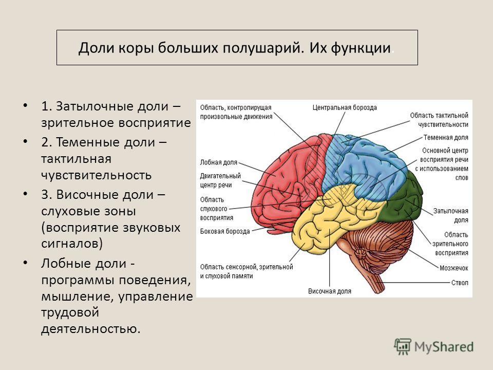 1. Затылочные доли – зрительное восприятие 2. Теменные доли – тактильная чувствительность 3. Височные доли – слуховые зоны (восприятие звуковых сигналов) Лобные доли - программы поведения, мышление, управление трудовой деятельностью. Доли коры больши