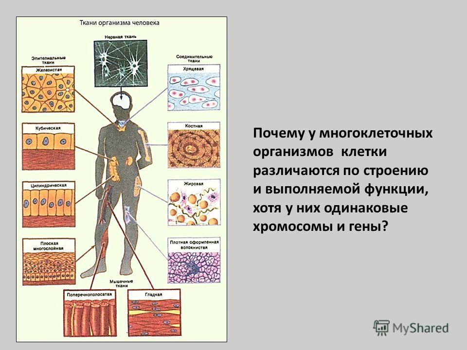 Почему у многоклеточных организмов клетки различаются по строению и выполняемой функции, хотя у них одинаковые хромосомы и гены?