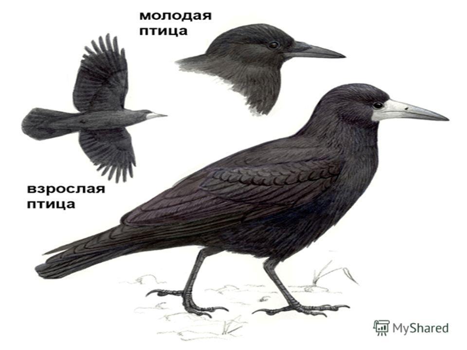 Птицы России Черный, проворный, Кричит «Кряк» Червякам - враг