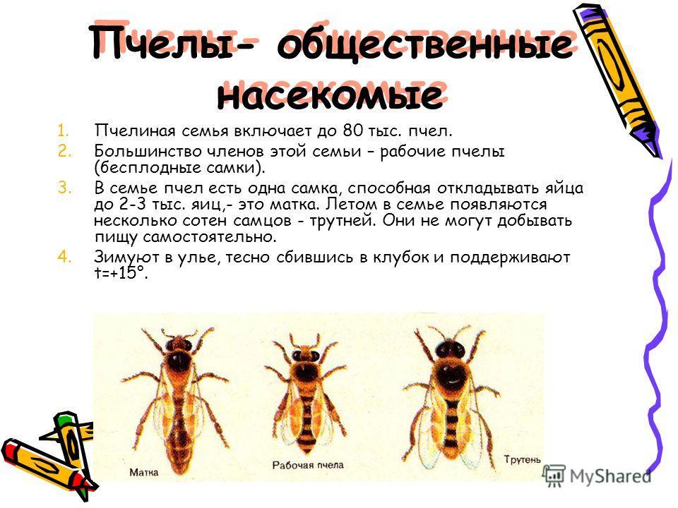 Пчелы- общественные насекомые 1.Пчелиная семья включает до 80 тыс. пчел. 2.Большинство членов этой семьи – рабочие пчелы (бесплодные самки). 3.В семье пчел есть одна самка, способная откладывать яйца до 2-3 тыс. яиц,- это матка. Летом в семье появляю
