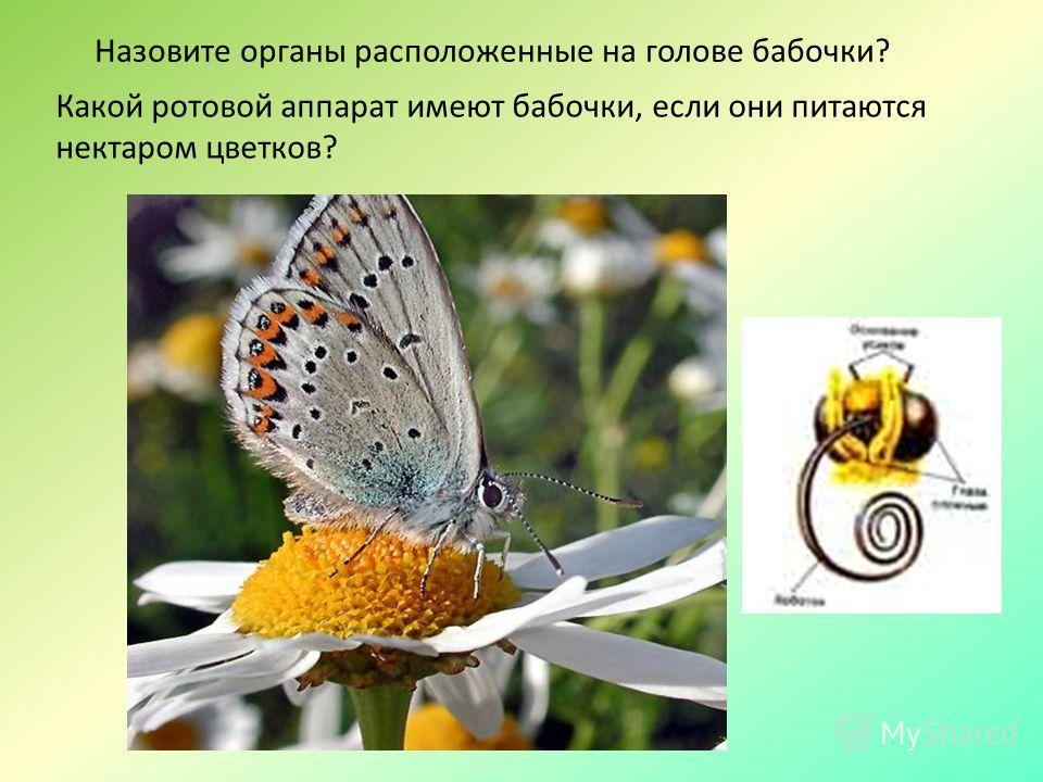 Назовите органы расположенные на голове бабочки? Какой ротовой аппарат имеют бабочки, если они питаются нектаром цветков?