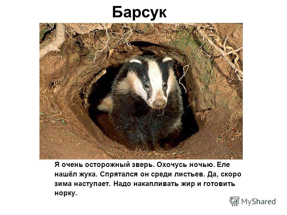 Барсук Я очень осторожный зверь. Охочусь ночью. Еле нашёл жука. Спрятался он среди листьев. Да, скоро зима наступает. Надо накапливать жир и готовить норку.