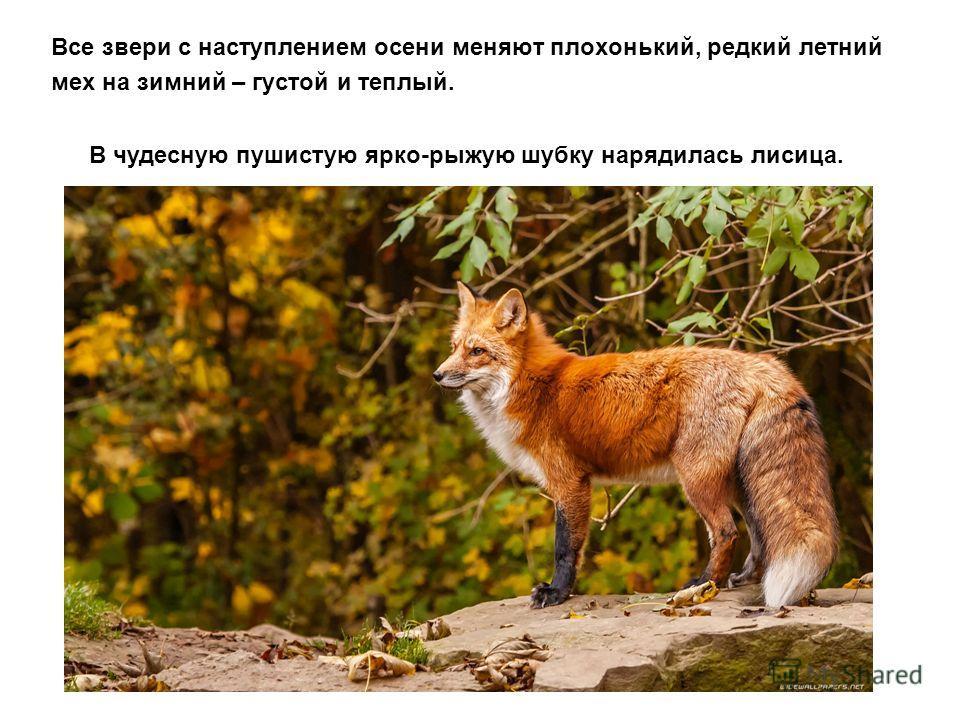 Все звери с наступлением осени меняют плохонький, редкий летний мех на зимний – густой и теплый. В чудесную пушистую ярко-рыжую шубку нарядилась лисица.