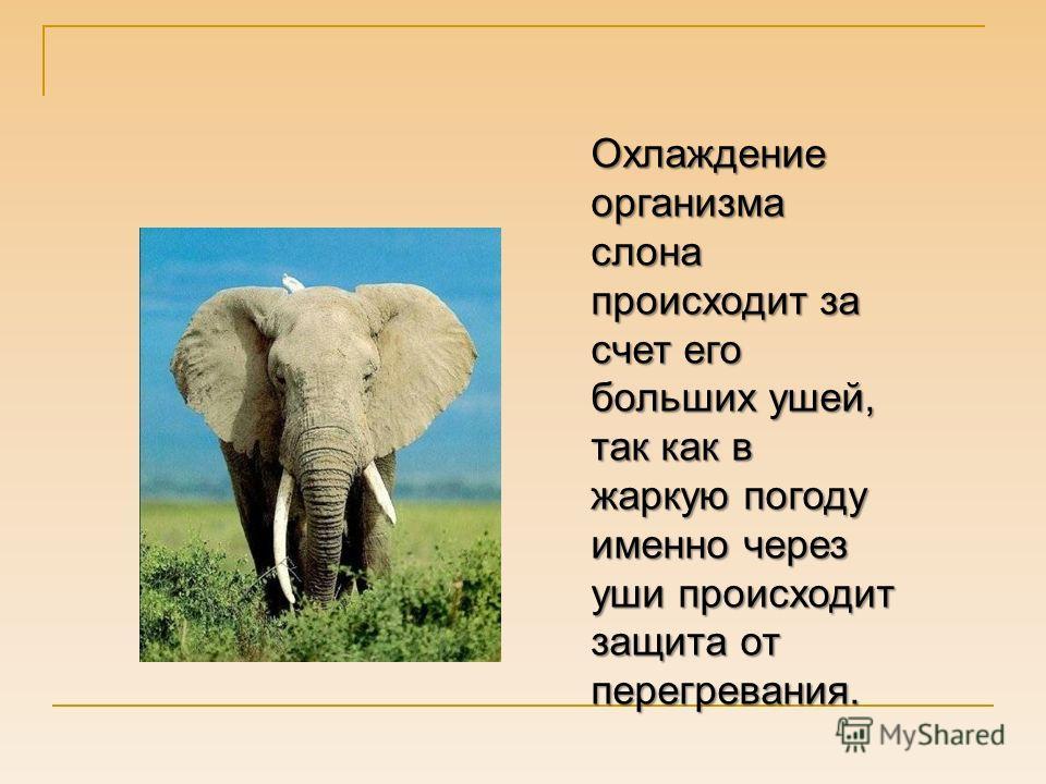 Охлаждение организма слона происходит за счет его больших ушей, так как в жаркую погоду именно через уши происходит защита от перегревания.