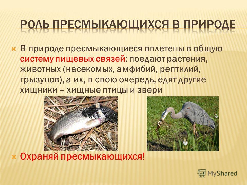В природе пресмыкающиеся вплетены в общую систему пищевых связей: поедают растения, животных (насекомых, амфибий, рептилий, грызунов), а их, в свою очередь, едят другие хищники – хищные птицы и звери Охраняй пресмыкающихся!