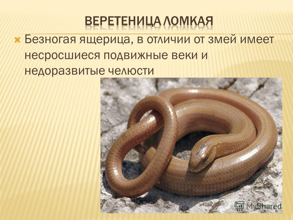 Безногая ящерица, в отличии от змей имеет несросшиеся подвижные веки и недоразвитые челюсти