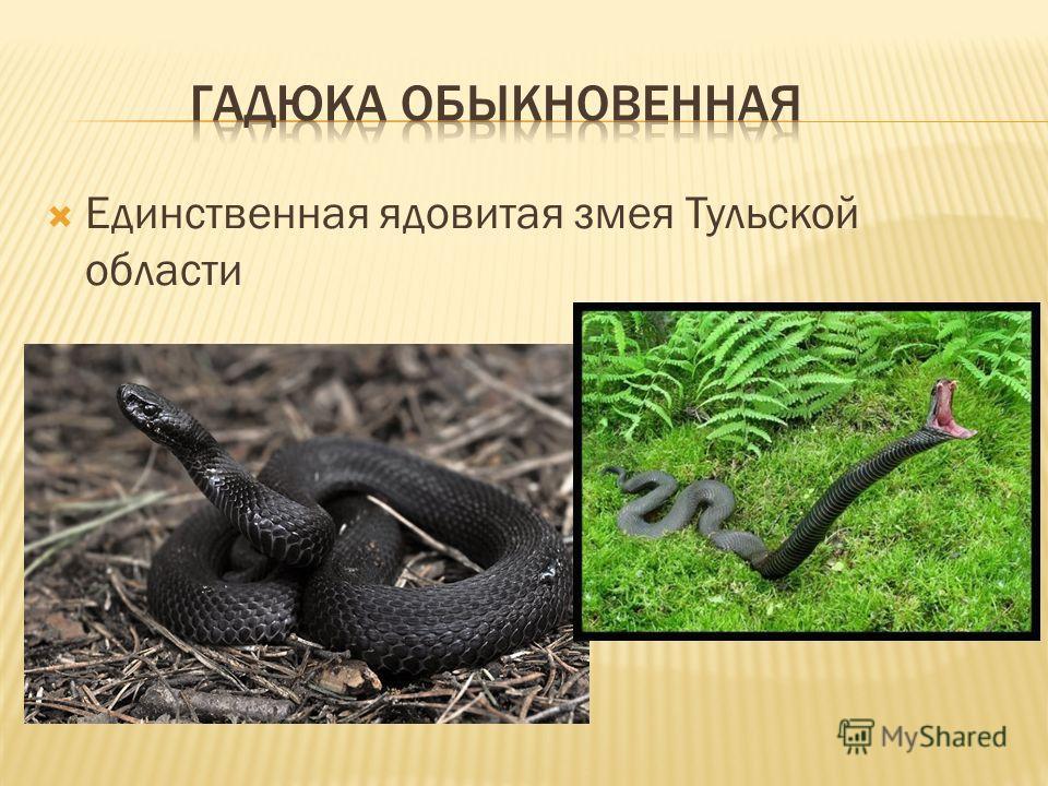 Единственная ядовитая змея Тульской области