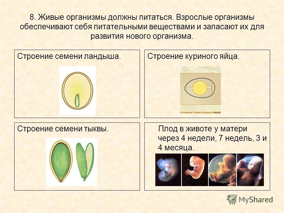 8. Живые организмы должны питаться. Взрослые организмы обеспечивают себя питательными веществами и запасают их для развития нового организма. Строение семени ландыша.Строение куриного яйца. Строение семени тыквы. Плод в животе у матери через 4 недели