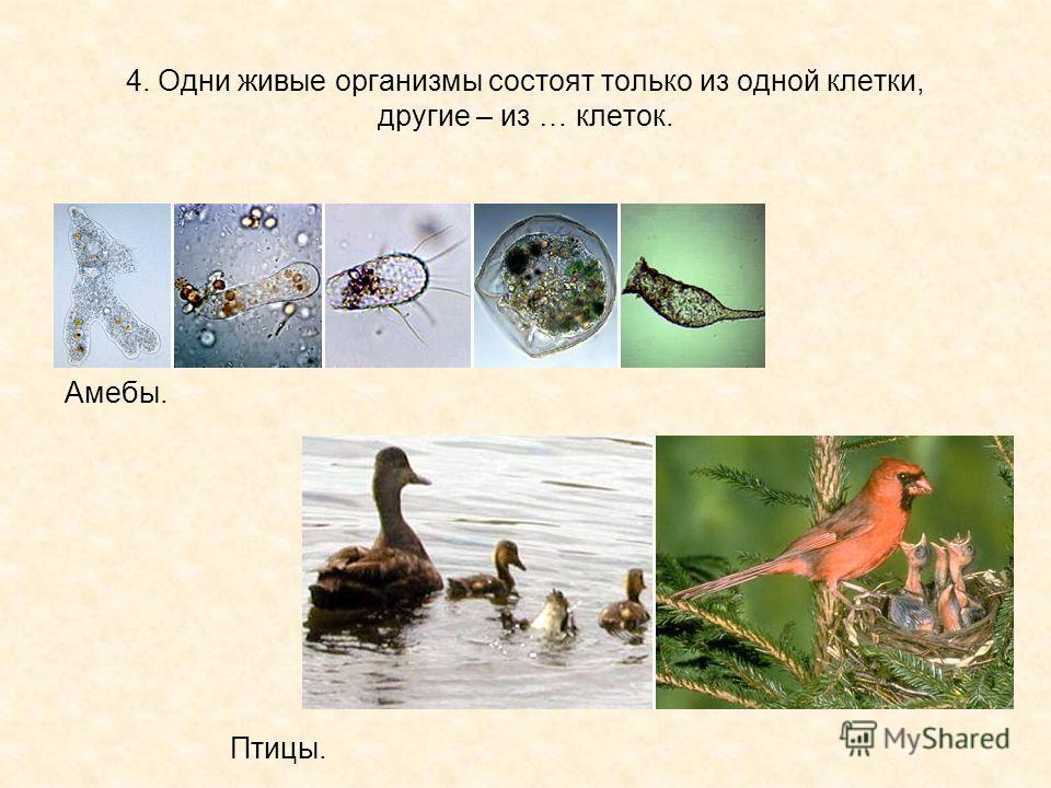 4. Одни живые организмы состоят только из одной клетки, другие – из … клеток. Амебы. Птицы.