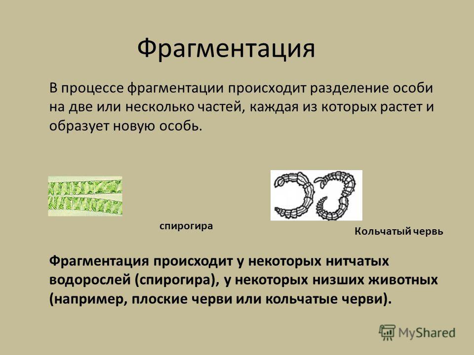Фрагментация В процессе фрагментации происходит разделение особи на две или несколько частей, каждая из которых растет и образует новую особь. Фрагментация происходит у некоторых нитчатых водорослей (спирогира), у некоторых низших животных (например,
