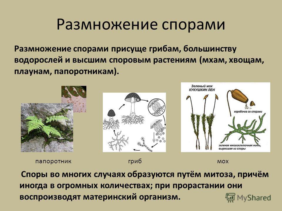 Размножение спорами Споры во многих случаях образуются путём митоза, причём иногда в огромных количествах; при прорастании они воспроизводят материнский организм. Размножение спорами присуще грибам, большинству водорослей и высшим споровым растениям