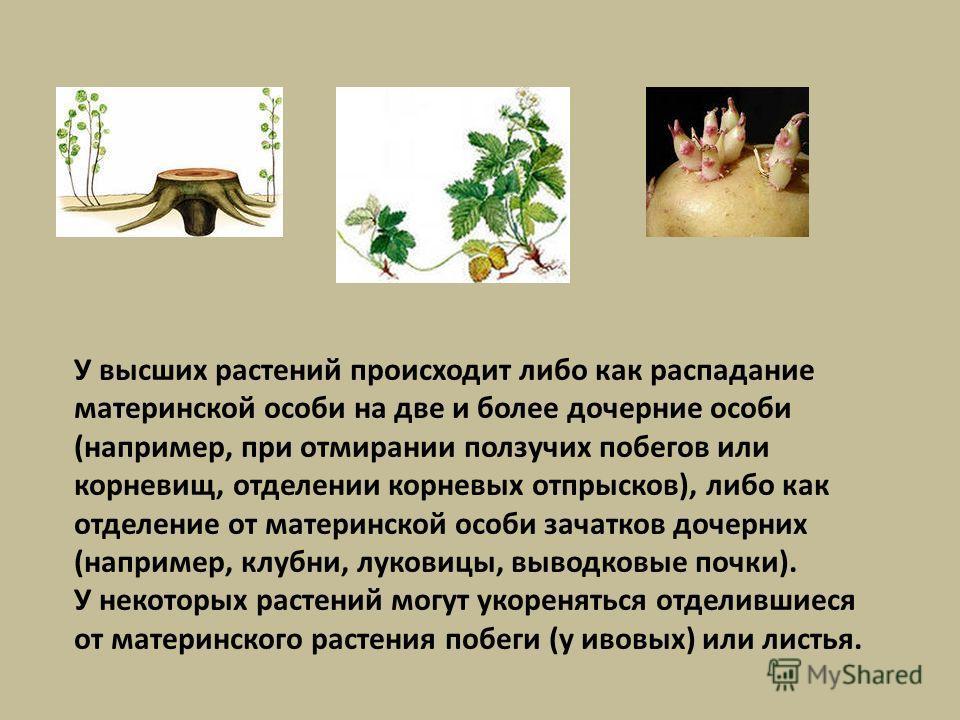 У высших растений происходит либо как распадание материнской особи на две и более дочерние особи (например, при отмирании ползучих побегов или корневищ, отделении корневых отпрысков), либо как отделение от материнской особи зачатков дочерних (наприме