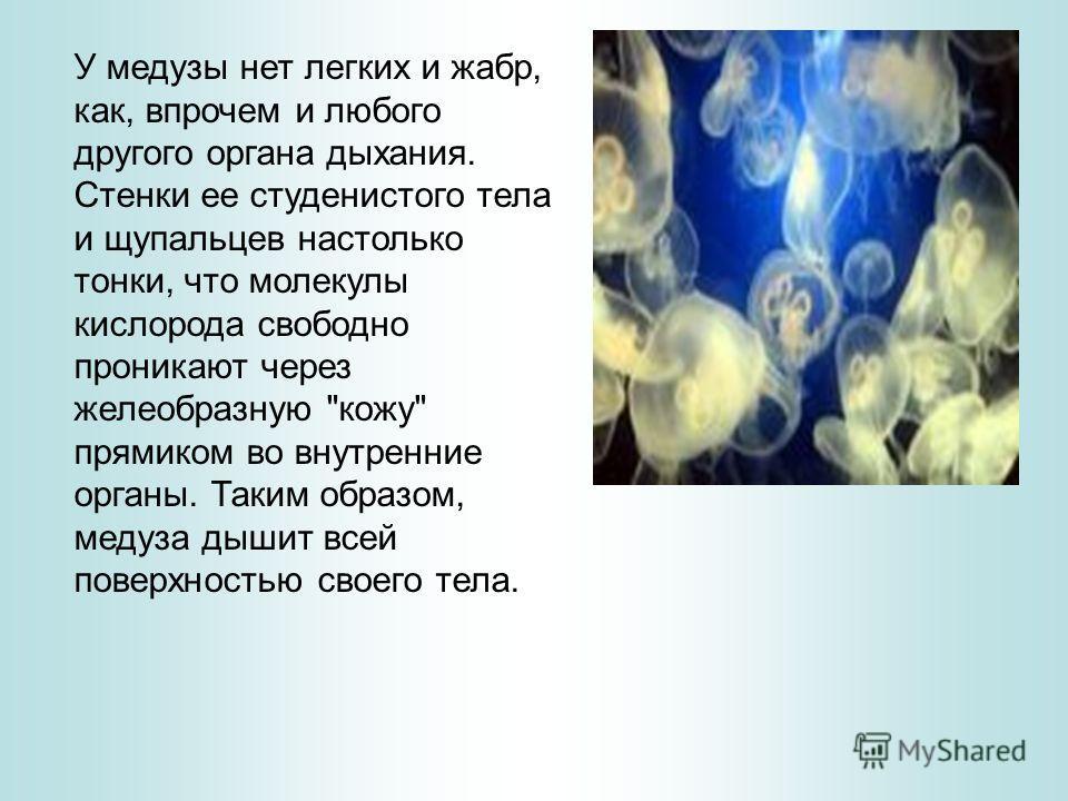У медузы нет легких и жабр, как, впрочем и любого другого органа дыхания. Стенки ее студенистого тела и щупальцев настолько тонки, что молекулы кислорода свободно проникают через желеобразную
