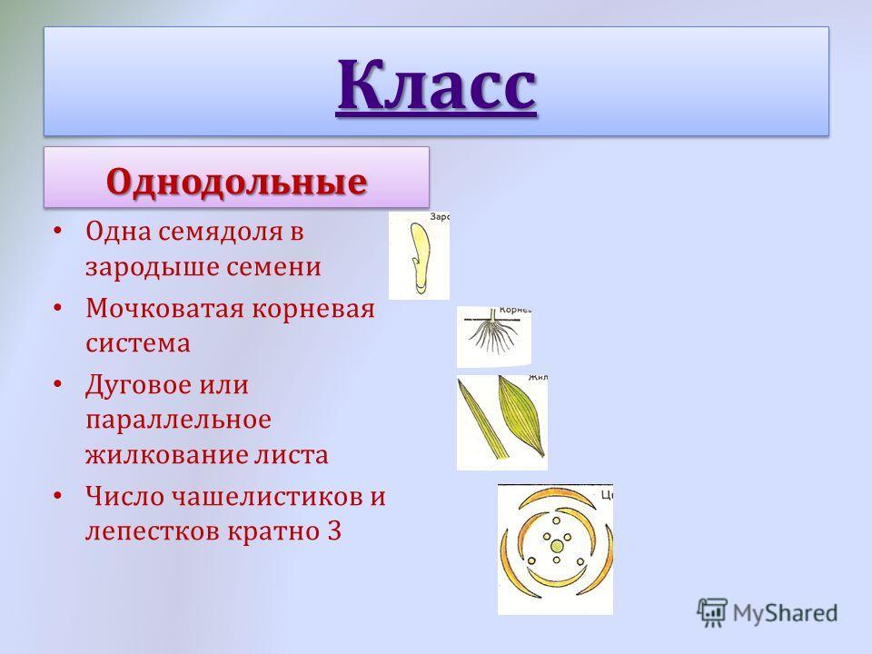 Класс Одна семядоля в зародыше семени Мочковатая корневая система Дуговое или параллельное жилкование листа Число чашелистиков и лепестков кратно 3