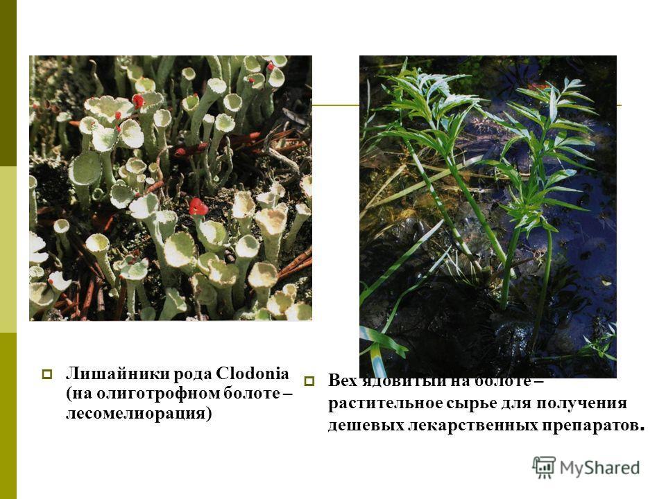 Лишайники рода Clodonia (на олиготрофном болоте – лесомелиорация) Вех ядовитый на болоте – растительное сырье для получения дешевых лекарственных препаратов.