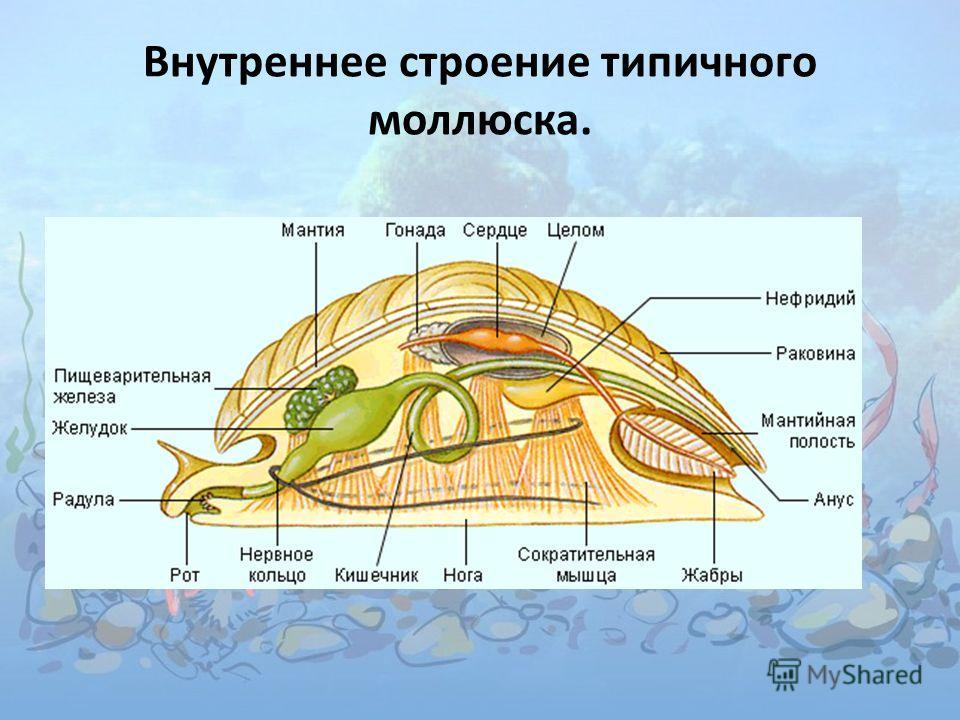 Внутреннее строение типичного моллюска.