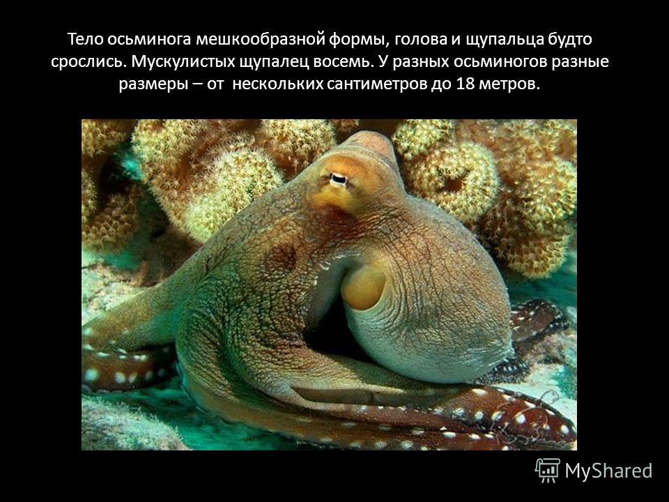 Тело осьминога мешкообразной формы, голова и щупальца будто срослись. Мускулистых щупалец восемь. У разных осьминогов разные размеры – от нескольких сантиметров до 18 метров.