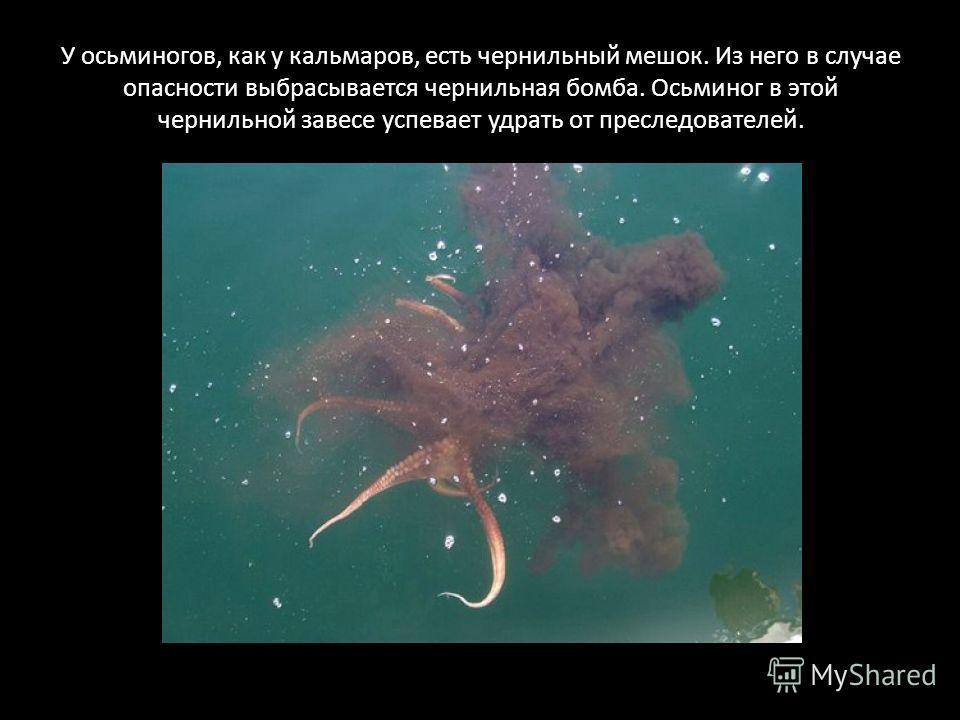 У осьминогов, как у кальмаров, есть чернильный мешок. Из него в случае опасности выбрасывается чернильная бомба. Осьминог в этой чернильной завесе успевает удрать от преследователей.