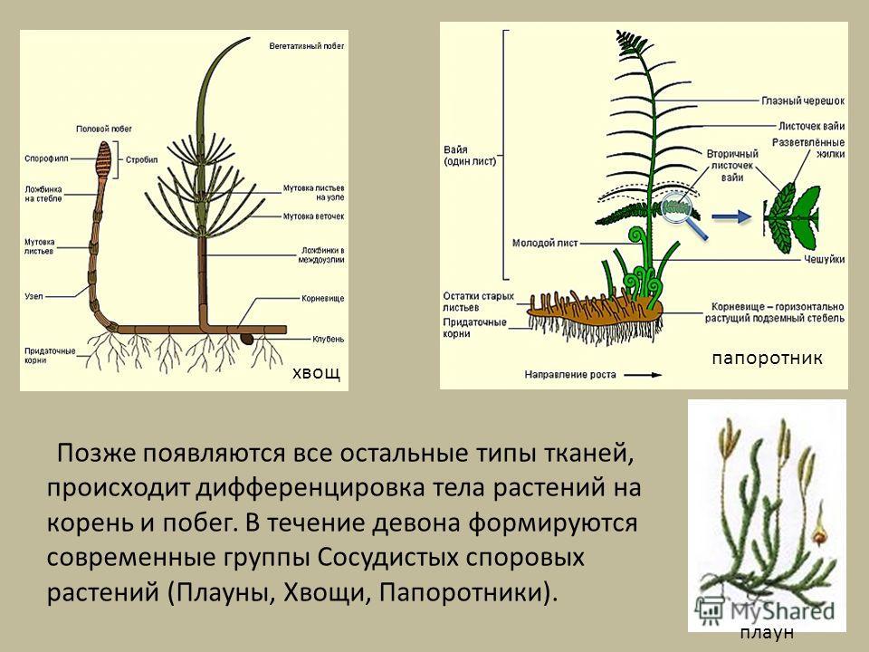 Позже появляются все остальные типы тканей, происходит дифференцировка тела растений на корень и побег. В течение девона формируются современные группы Сосудистых споровых растений (Плауны, Хвощи, Папоротники). хвощ папоротник плаун