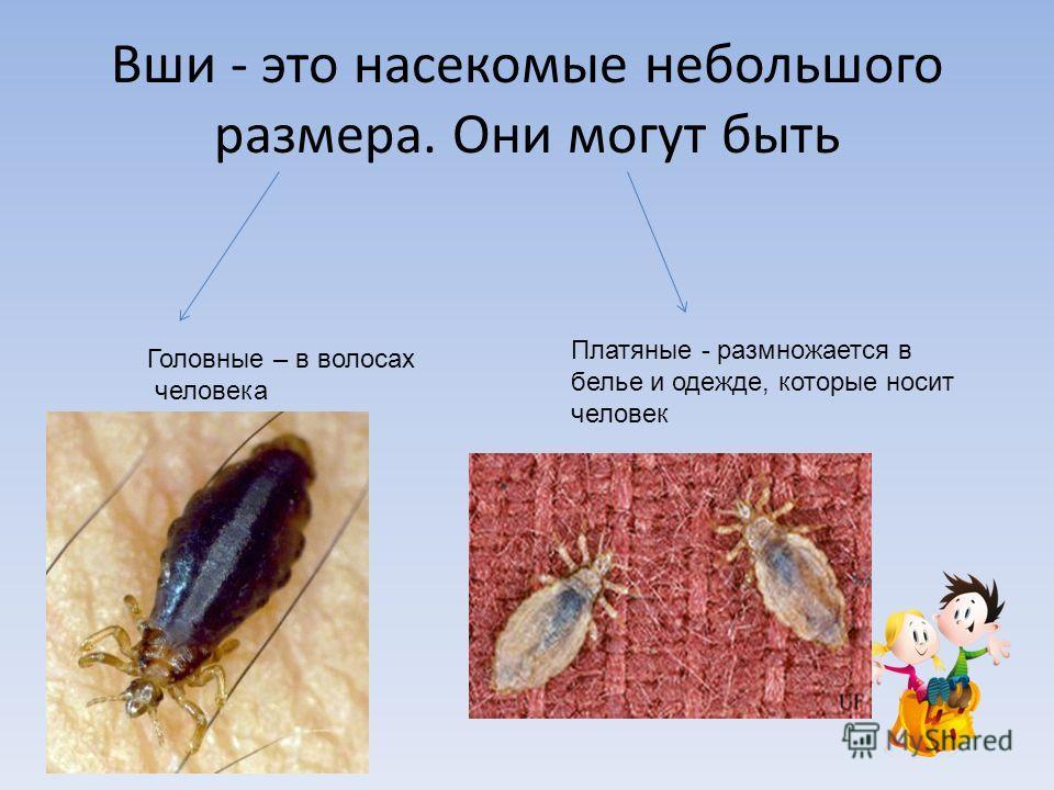 Вши - это насекомые небольшого размера. Они могут быть Головные – в волосах человека Платяные - размножается в белье и одежде, которые носит человек