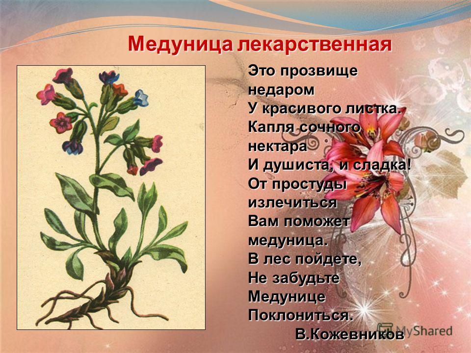 Медуница лекарственная Медуница лекарственная Это прозвище недаром У красивого листка. Капля сочного нектара И душиста, и сладка! От простуды излечиться Вам поможет медуница. В лес пойдете, Не забудьте МедуницеПоклониться.В.Кожевников