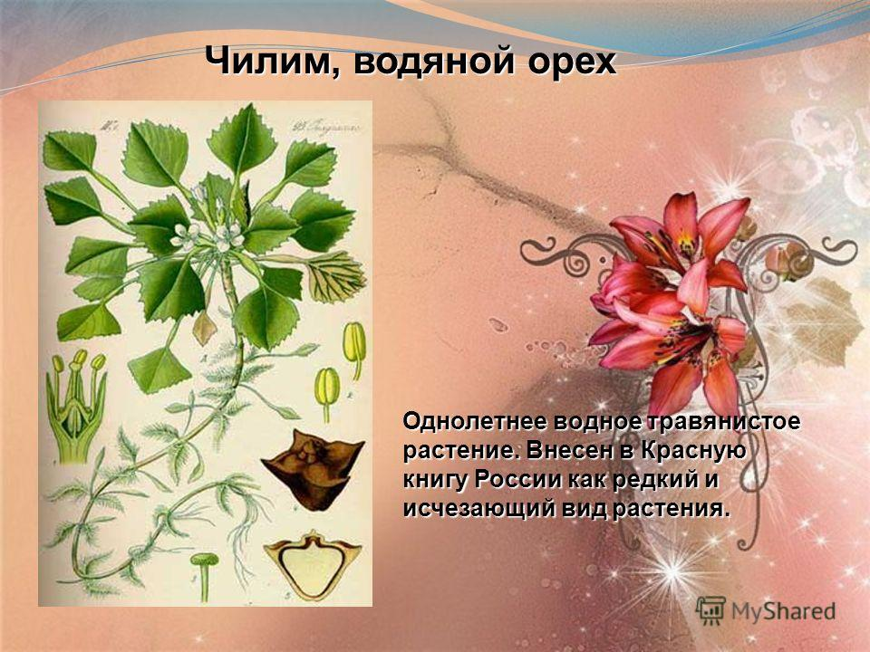Чилим, водяной орех Чилим, водяной орех Однолетнее водное травянистое растение. Внесен в Красную книгу России как редкий и исчезающий вид растения.