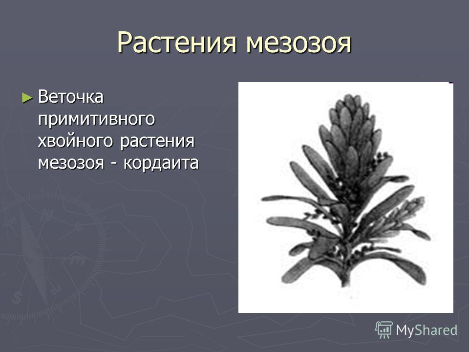 Растения мезозоя Веточка примитивного хвойного растения мезозоя - кордаита Веточка примитивного хвойного растения мезозоя - кордаита