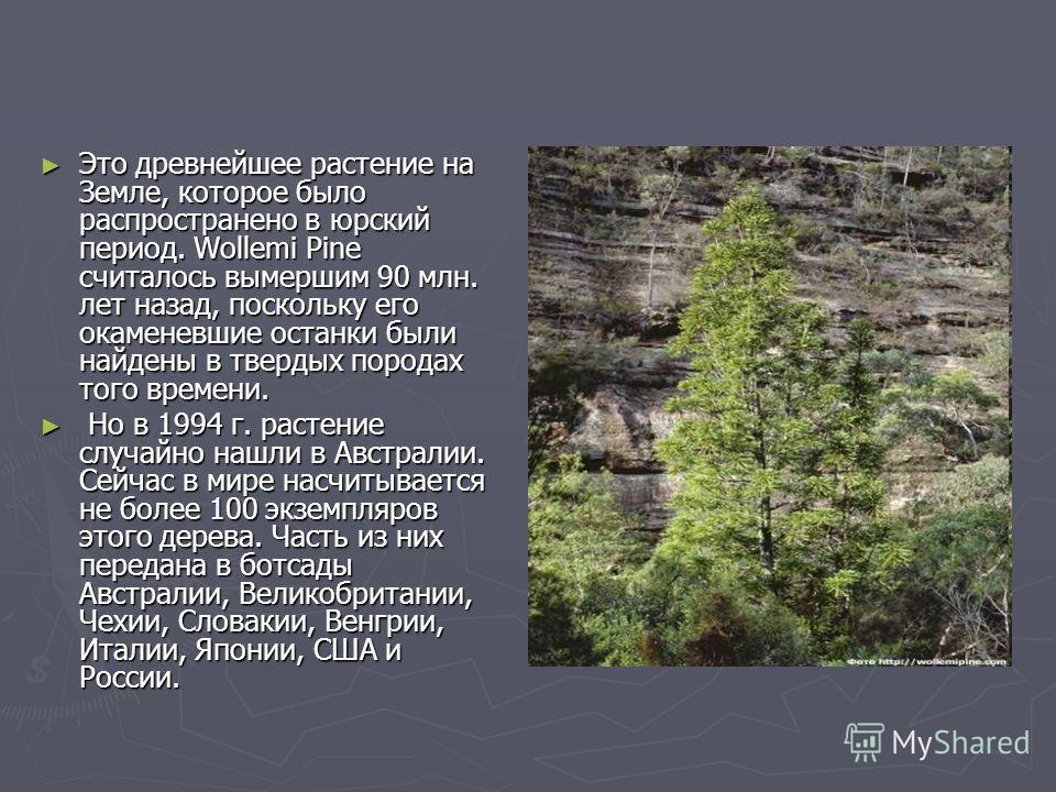 Это древнейшее растение на Земле, которое было распространено в юрский период. Wollemi Pine считалось вымершим 90 млн. лет назад, поскольку его окаменевшие останки были найдены в твердых породах того времени. Это древнейшее растение на Земле, которое