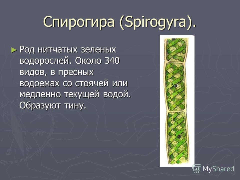 Спирогира (Spirogyra). Род нитчатых зеленых водорослей. Около 340 видов, в пресных водоемах со стоячей или медленно текущей водой. Образуют тину. Род нитчатых зеленых водорослей. Около 340 видов, в пресных водоемах со стоячей или медленно текущей вод