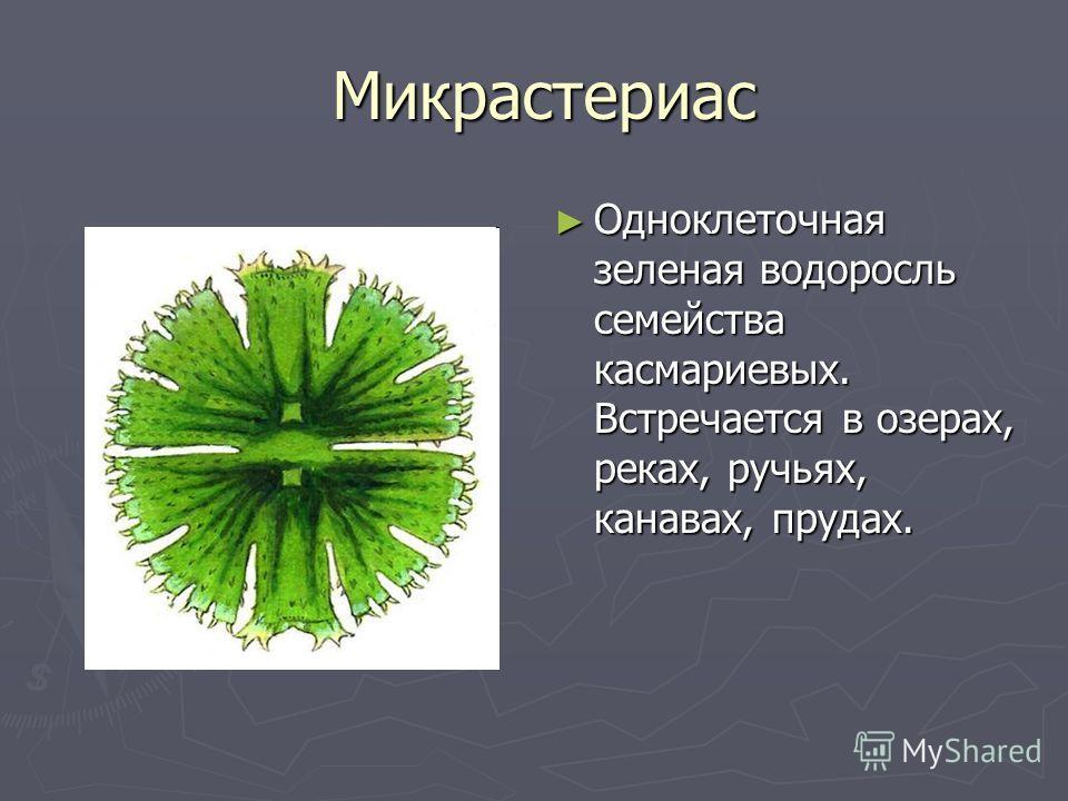 Микрастериас Микрастериас Одноклеточная зеленая водоросль семейства касмариевых. Встречается в озерах, реках, ручьях, канавах, прудах.
