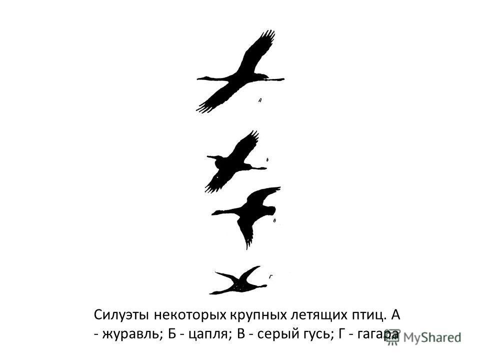 Силуэты некоторых крупных летящих птиц. А - журавль; Б - цапля; В - серый гусь; Г - гагара