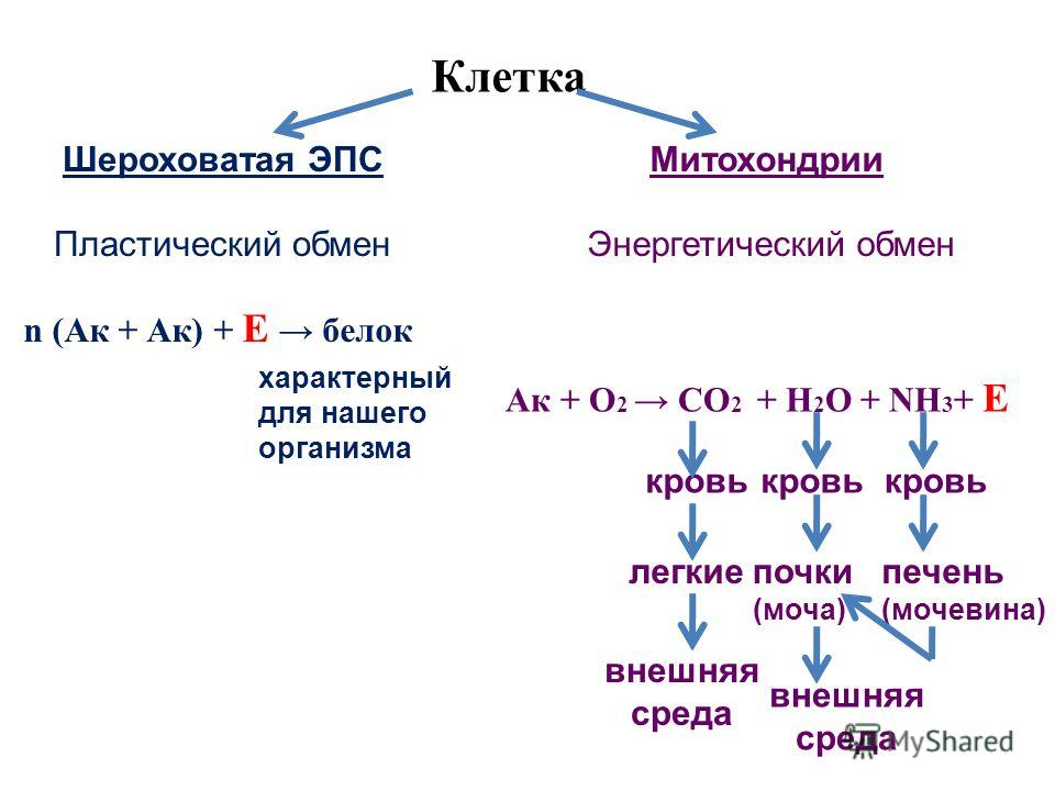 n (Ак + Ак) + Е белок Ак + О 2 СО 2 + Н 2 О + NH 3 + Е Клетка Шероховатая ЭПС Пластический обмен Митохондрии Энергетический обмен кровь легкиепочки (моча) внешняя среда внешняя среда характерный для нашего организма кровь печень (мочевина)