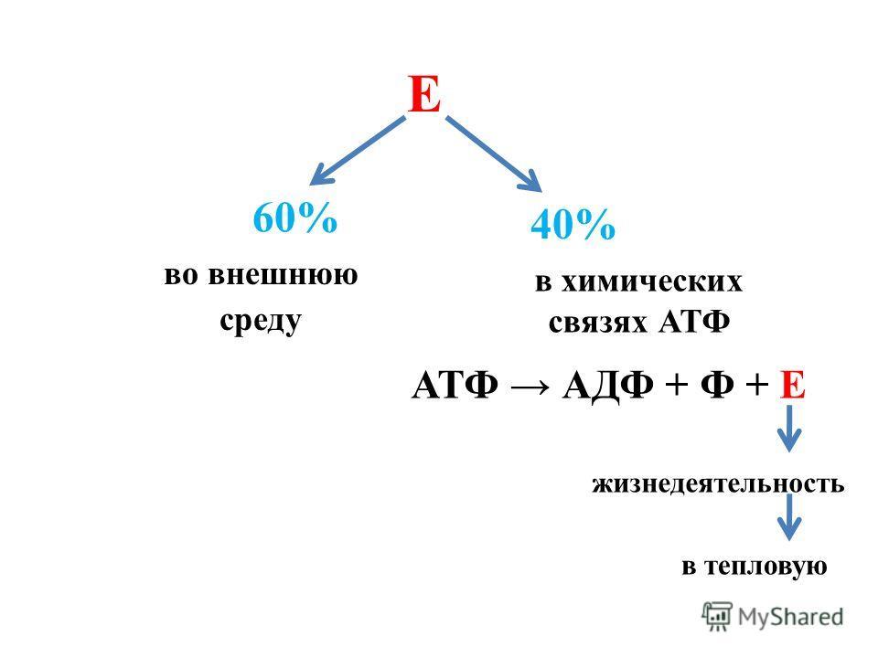 АТФ АДФ + Ф + Е Е 40% 60% в химических связях АТФ во внешнюю среду жизнедеятельность в тепловую