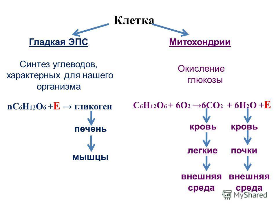 nC 6 Н 12 О 6 + Е гликоген С 6 Н 12 О 6 + 6О 2 6СО 2 + 6Н 2 О + Е Клетка Гладкая ЭПС Синтез углеводов, характерных для нашего организма Митохондрии Окисление глюкозы кровь легкиепочки внешняя среда внешняя среда печень мышцы