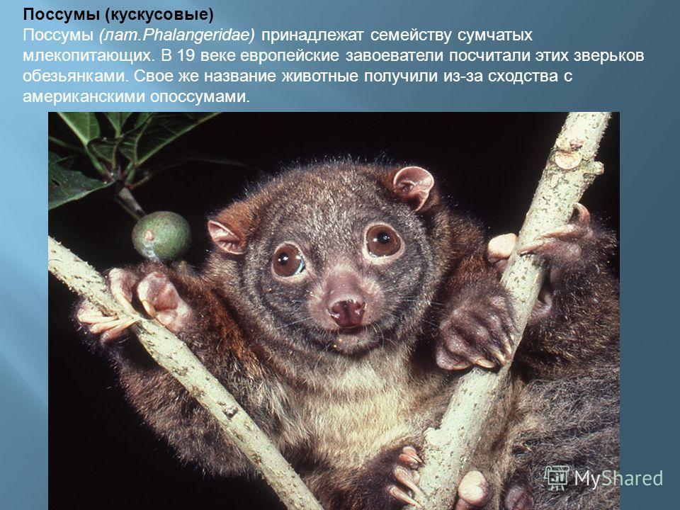 Поссумы (кускусовые) Поссумы (лат.Phalangeridae) принадлежат семейству сумчатых млекопитающих. В 19 веке европейские завоеватели посчитали этих зверьков обезьянками. Свое же название животные получили из-за сходства с американскими опоссумами.