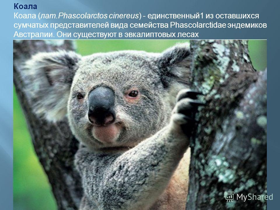 Коала Коала (лат.Phascolarctos cinereus) - единственный1 из оставшихся сумчатых представителей вида семейства Phascolarctidae эндемиков Австралии. Они существуют в эвкалиптовых лесах