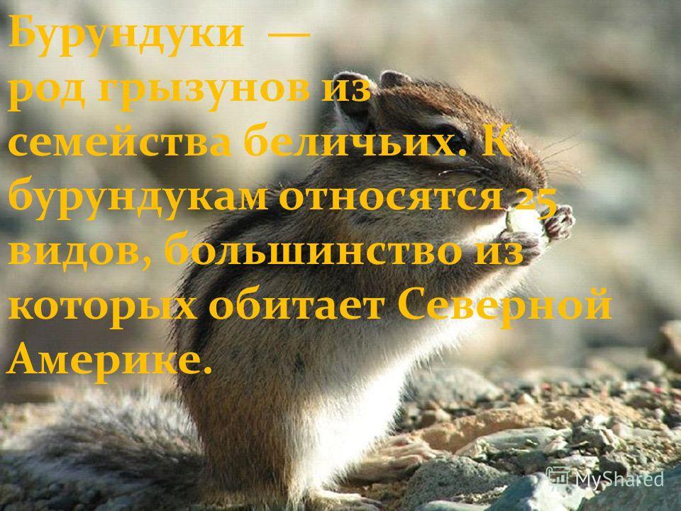 Бурундуки род грызунов из семейства беличьих. К бурундукам относятся 25 видов, большинство из которых обитает Северной Америке.