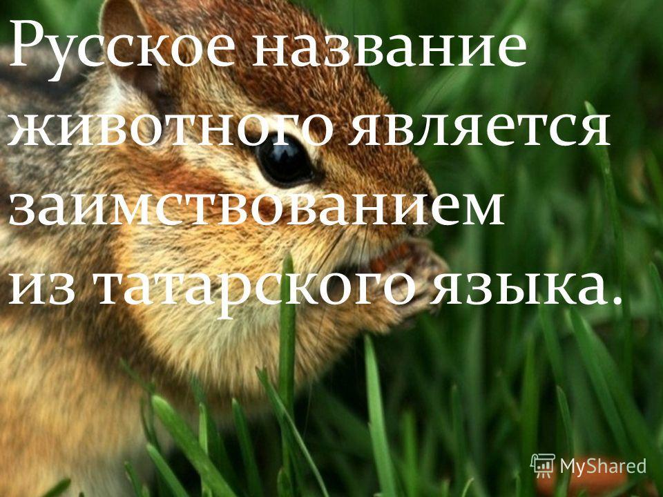 Русское название животного является заимствованием из татарского языка.