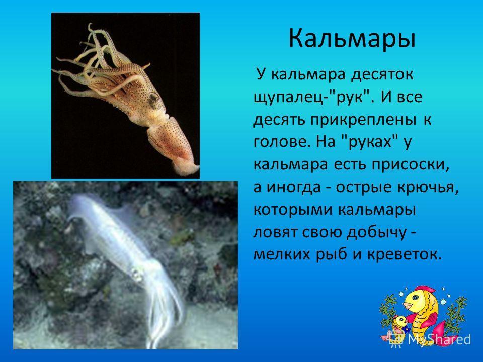 Кальмары У кальмара десяток щупалец-рук. И все десять прикреплены к голове. На руках у кальмара есть присоски, а иногда - острые крючья, которыми кальмары ловят свою добычу - мелких рыб и креветок.