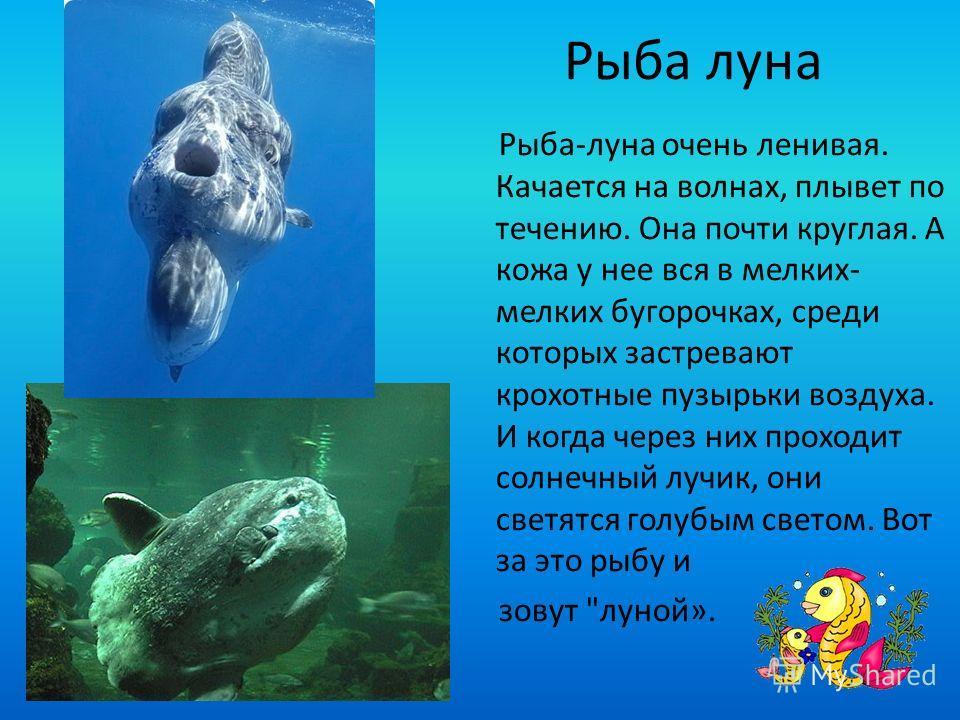 Рыба луна Рыба-луна очень ленивая. Качается на волнах, плывет по течению. Она почти круглая. А кожа у нее вся в мелких- мелких бугорочках, среди которых застревают крохотные пузырьки воздуха. И когда через них проходит солнечный лучик, они светятся г
